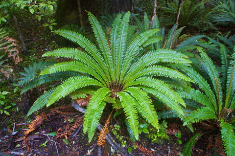 Ferns Grow in All Rainforests, But This One is Especially Symmetrical