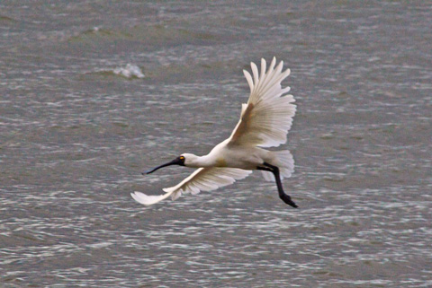 The Spoonbill Takes Off