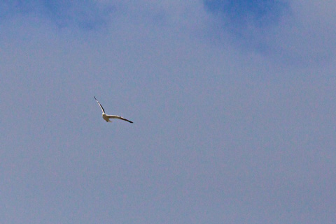 A Black-Backed Gull in Flight