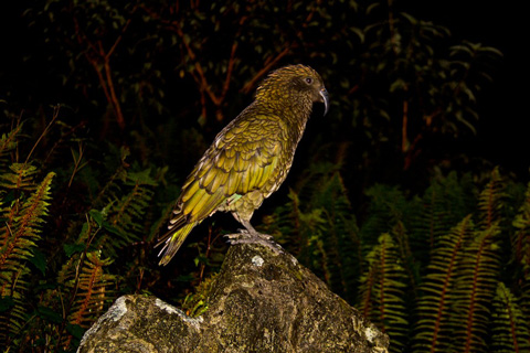 The Kea Poses in the Bush