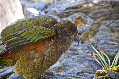 The Kea, Confined to New Zealand's South Island, is the Only True Alpine Parrot