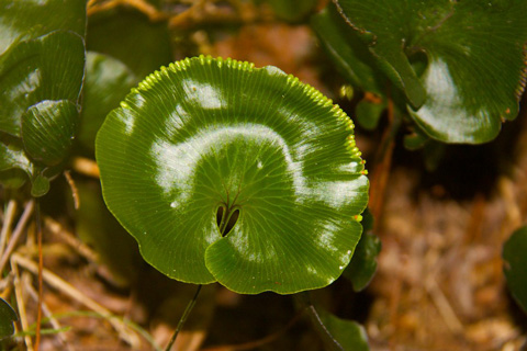 A Kidney Fern in the Rainforest