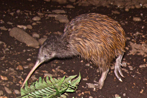 A Kiwi, the Bird that is the Symbol of New Zealand