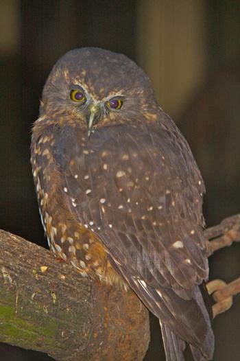 A Morepork Owl