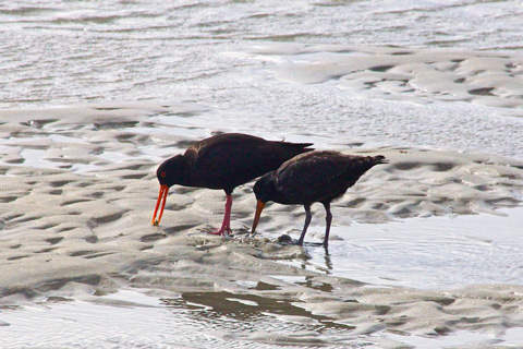 A Pair of Black Oyster Catchers at Work