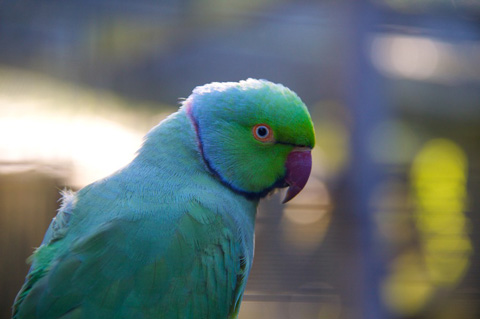 An Indian Ring Neck Parrot