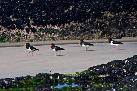 Four Pied Oyster Catchers Take a Walk