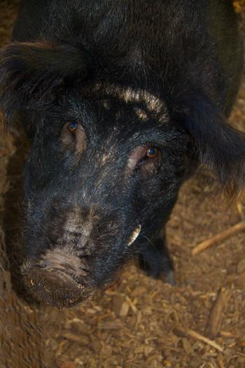 An Auckland Island Pig