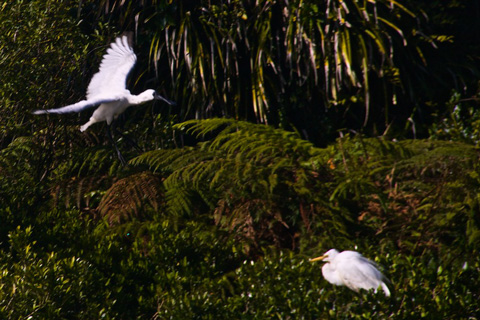 A Royal Spoonbill Flies over a White Heron Chick