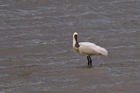Now We Know Why They Call It a Spoonbill