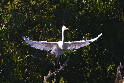 This Juvenile White Heron Practices Spreading Its Wings