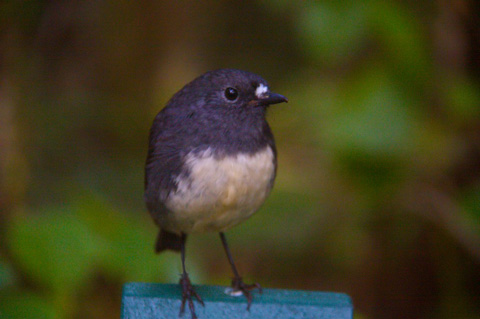 This Toutouwai Followed in My Footsteps