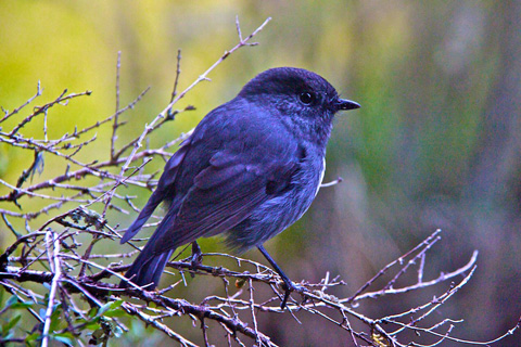 A Toutouwai Along the Trail