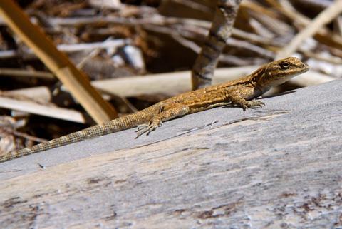 A Tiny Desert Lizard