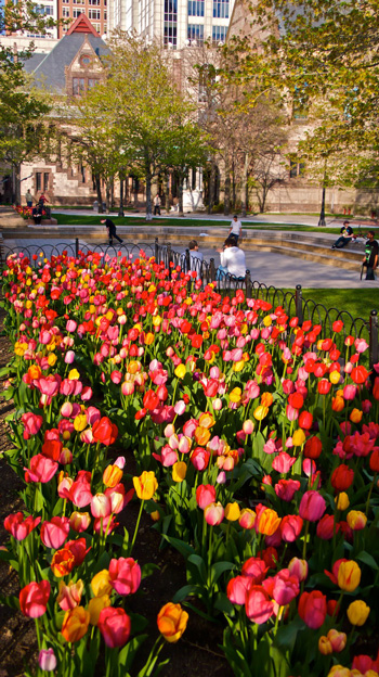 Tulips on Copley Place