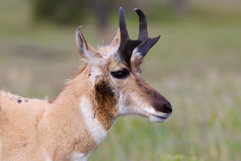This Pronghorn Was So Close That My Camera Couldn't Capture More