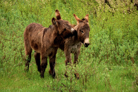 Two Gentle Burros