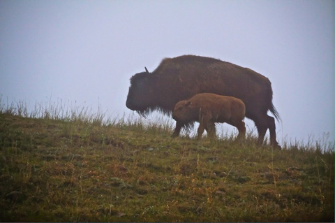A Pair of Buffalo