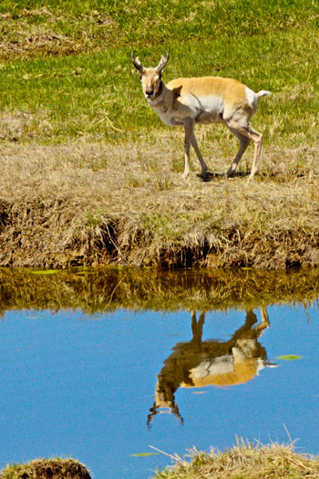 A Pronghorn Antelope at a Watering Hole
