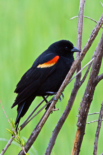 A Red Winged Blackbird