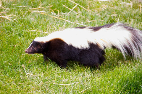 A Skunk