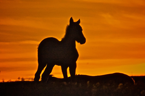 A Foal at Sunset