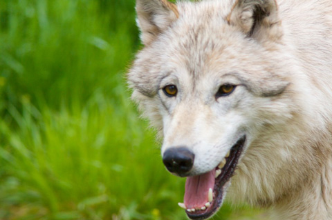 An Arctic Wolf