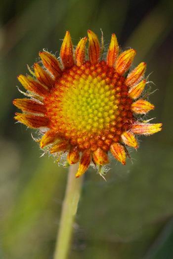 A Blanketflower