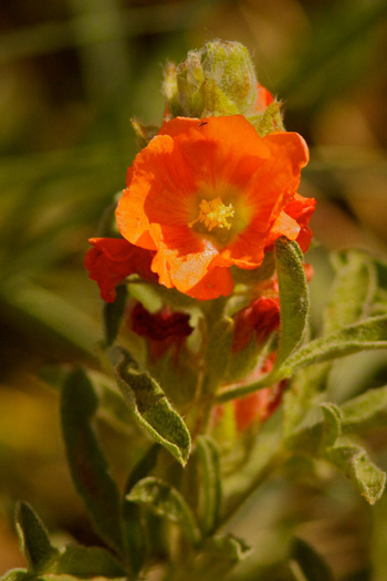 An Uncommon Orange Flower, the Copper Mallow