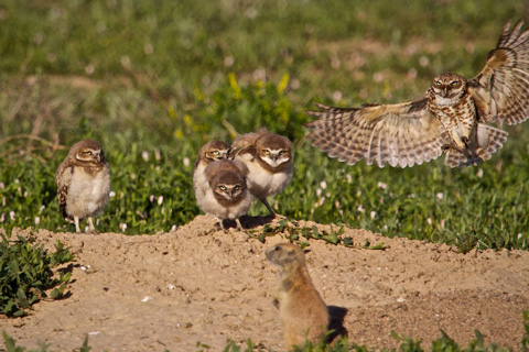 Mama Defends Her Babies and the Burrow