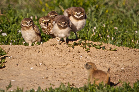 Face-off with a Prairie Dog over the Burrow