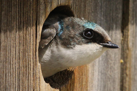 Juvenile Tree Swallow at Home