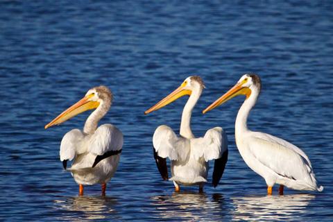 Pelicans Pose