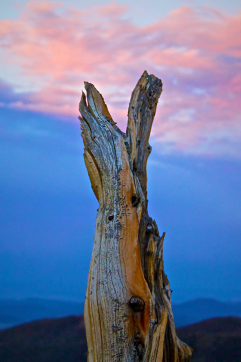 A Bristlecone Stump at Sunset