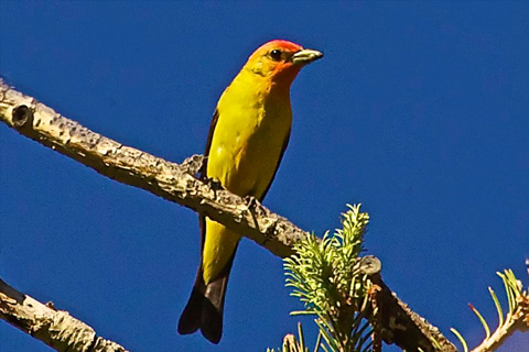 A Western Tanager