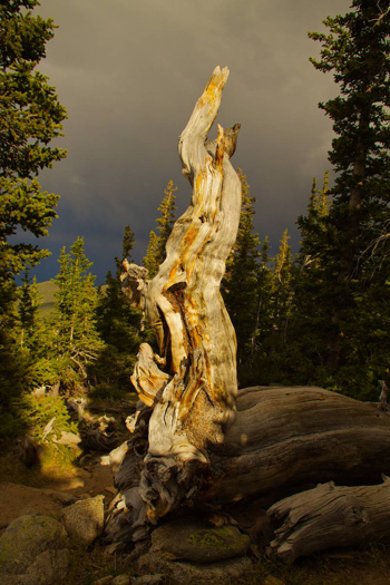 Bristlecone Wood