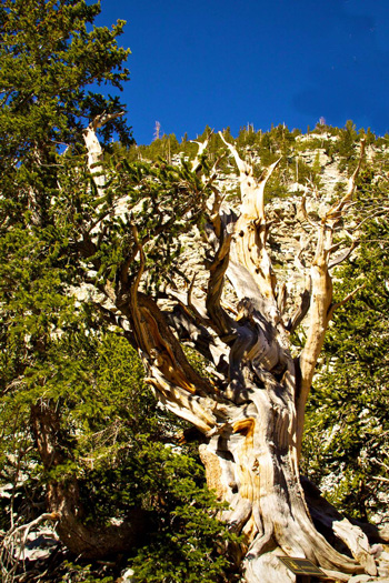 This Bristlecone Pine was Born in 1230 B.C. and Still Lives