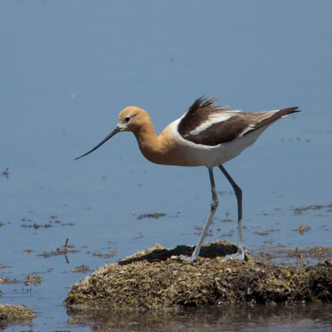 An American Avocet