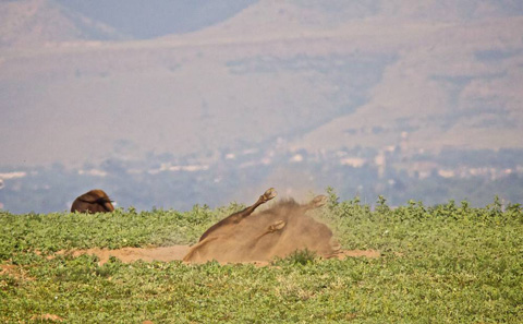 A Bison Takes a Dust Bath
