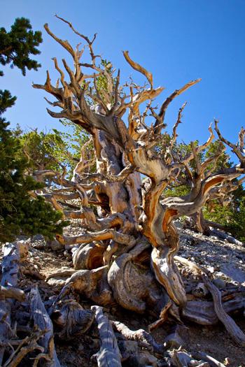 A Truly Wild Tree