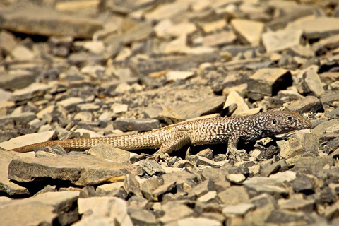 A Lizard Lives in the Fossil Quarry's Shale