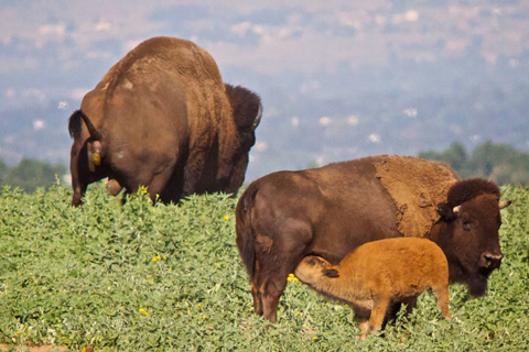 A Bison Calf Nurses