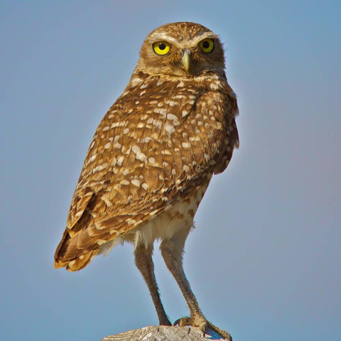 A Juvenile Burrowing Owl