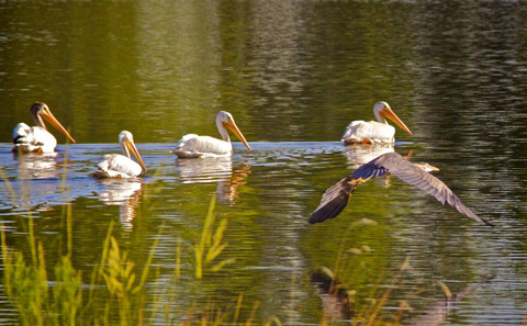 Four White Pelicans and One Great Blue Heron