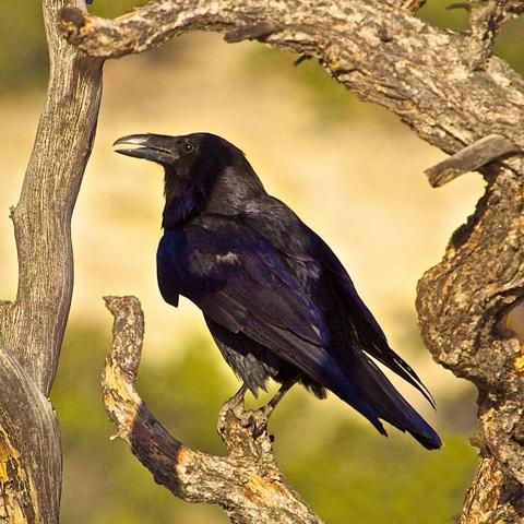 A Raven Framed