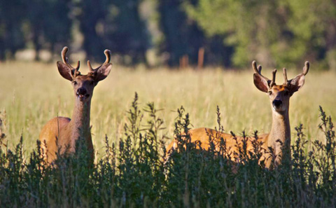 Two Young Bucks in the Bush