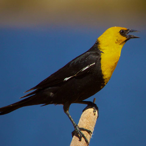 A Yellow-headed Blackbird