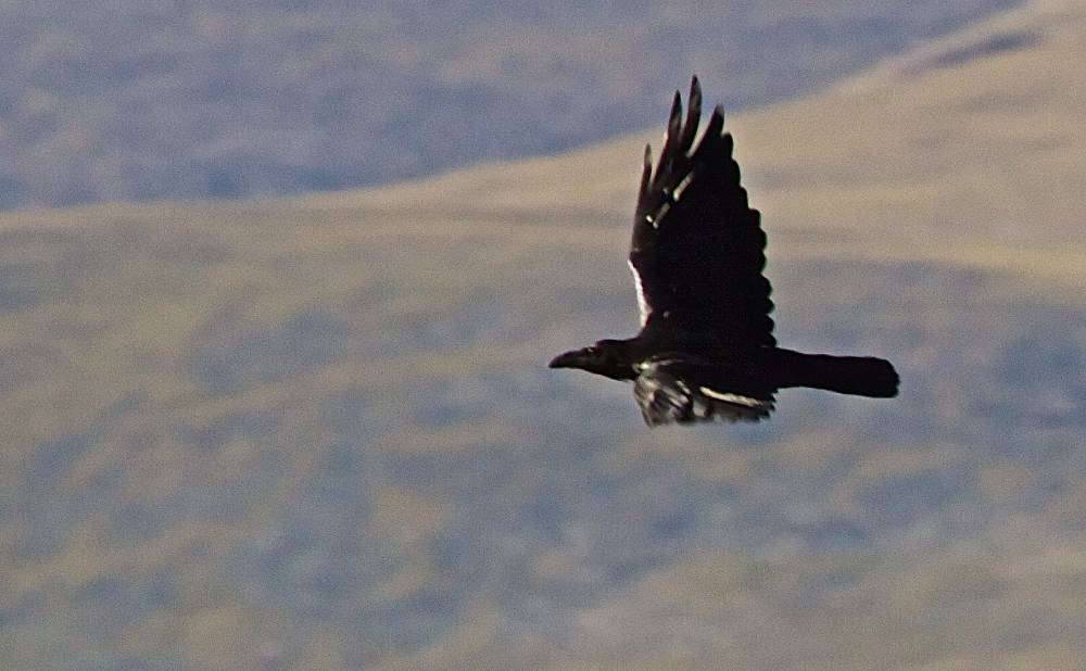 raven-in-flight.jpg