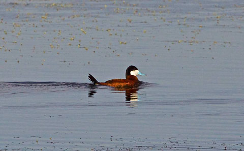 An Adult Male Ruddy Duck