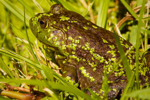 A Bullfrog in the Grass